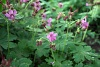 Здравец - Geranium (cranesbill, not same as Pelargonium) 3